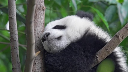 Wall Mural - Adorable baby panda sleeping on a tree among green flora in Chengdu, China. 4K