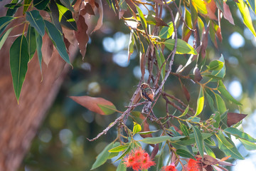 Humming Bird at rest on blooming Eucalyptus Branch