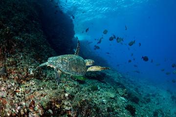 ボニンブルーの海を泳ぐアオウミガメ