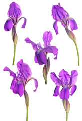 Deurstickers Iris five blooms of dark purple iris on white