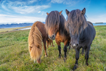 funny iceland ponies with a stylish haircut grazing on a pasture in northern Iceland