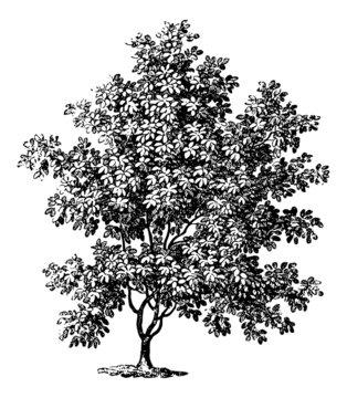 Magnolia Tree - Vintage Engraving Illustration