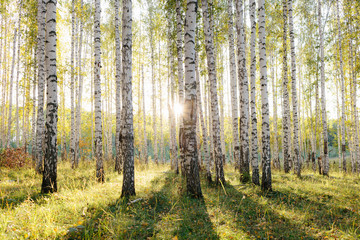 Birch tree grove in golden sunlight. Trunks with white bark and yellow leaves. Natural forest scenery in early autumn. Ural, Russia