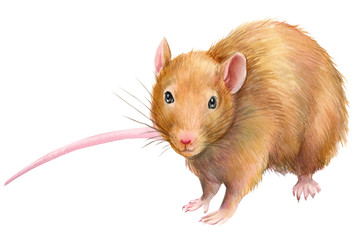 animals, rats painted by watercolor, painting elements on isolated white background