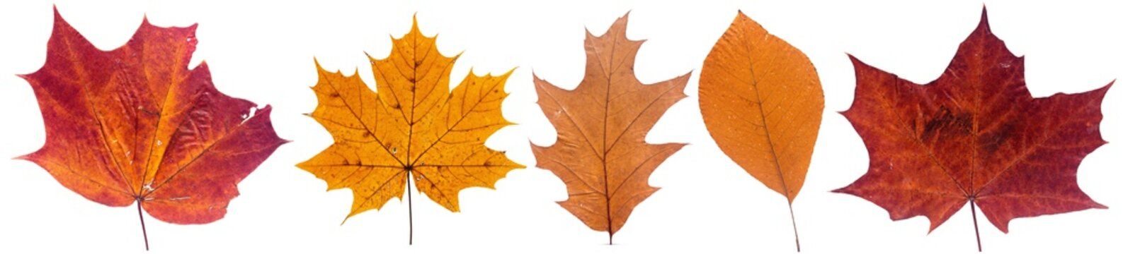 Set of autumn leaves isolated on white background. High resolution.
