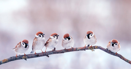 Wall Mural - panoramic portrait many little funny birds sparrows sitting on a branch in the garden