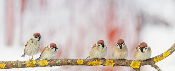 Wall Mural - portrait five little funny birds sparrows sitting on a branch in the garden on a Sunny spring day