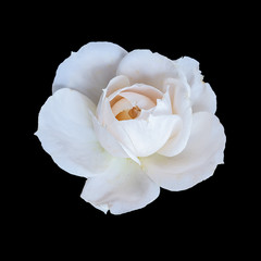 isolated white rose blossom macro,black background, color fine art still life close-up of a single bloom with detailed texture