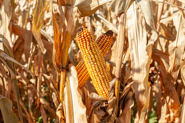 Horizontal closeup of  two mature corn cobs crossing in a brown corn field.