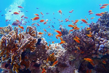 Wall Murals Coral reefs Beautiful tropical coral reef with shoal or red coral fish Anthias