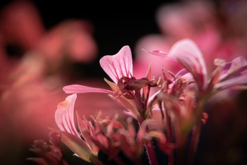 Foto op Plexiglas Macrofotografie Wallpaper close up/ macro photography pink Geranium/ Hintergrund Nahaufnahme/ Makro Fotografie einer rosa Geranie