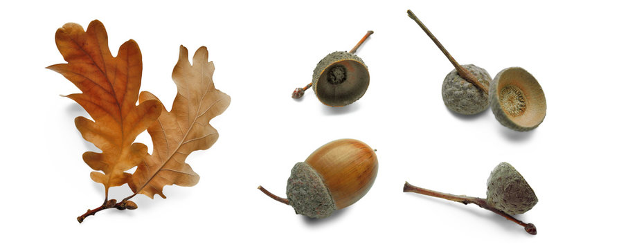 Oak dry leaves and acorns in different angles, set isolated on white.