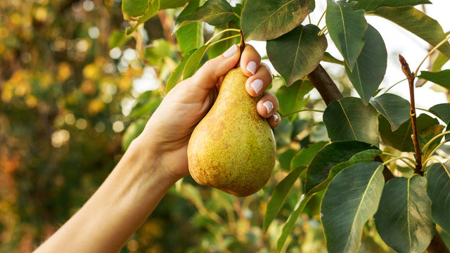 Female hand holds beautiful tasty ripe pear on branch of pear tree in orchard for food or juice, harvesting. Autumn harvest in the garden outside. Village, rustic style. Eco, farm products.