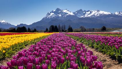 Campo de tulipanes en Trevelin, Chubut, Argentina. Fotoväggar