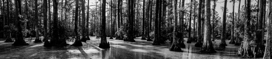 Black and white panoramic photo of bald cypress swamp