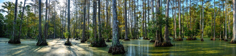panoramic photo of bald cypress swamp