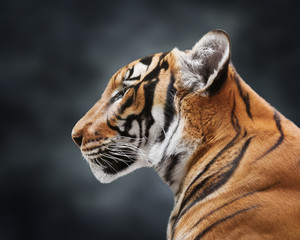 Wall Mural - Portrait of magnificent tiger on gray cloudy background