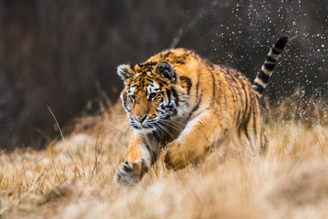Fotobehang Tijger Siberian Tiger running in snow. Beautiful, dynamic and powerful photo of this majestic animal. Set in environment typical for this amazing animal. Birches and meadows