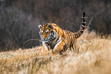 Zelfklevend Fotobehang Tijger Siberian Tiger running in snow. Beautiful, dynamic and powerful photo of this majestic animal. Set in environment typical for this amazing animal. Birches and meadows