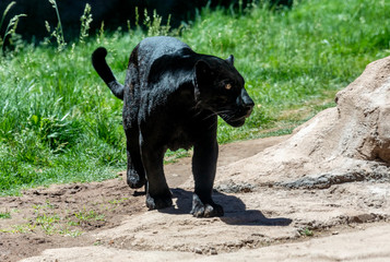 Foto op Aluminium Panter black panther also known as jaguar