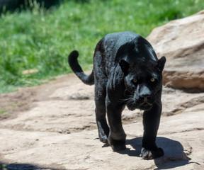 black jaguar or panther
