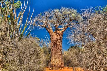 Fotobehang Baobab Landscape with Adansonia rubrostipa aka fony baobab tree in Reniala reserve , Toliara, Madagascar