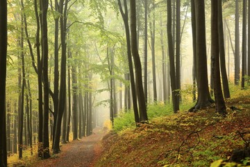 Photo Stands Road in forest A trail among beech trees through an autumn forest in a misty rainy weather