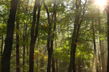 Falling leaves in October in a beech forest. There are also some raindrops coming down from an earlier rain shower.