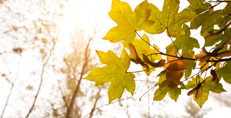 The beautiful yellow oak leaves against the sun
