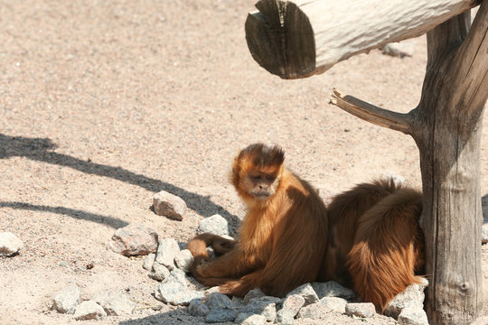 Cute capuchin monkeys at enclosure in zoo on sunny day