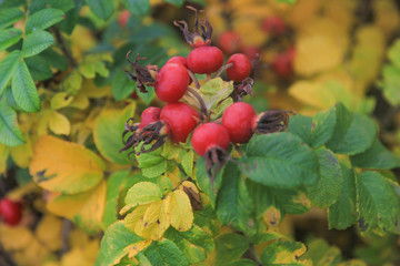 Rosehip Shrub With Red Fruit