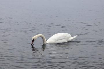 Swans in the sea Rügen, Germany