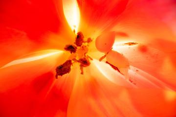 Macro stamens of tulips flower