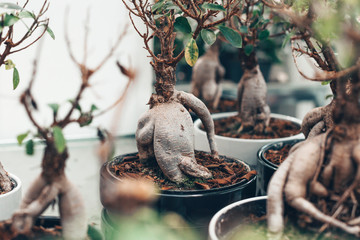 Tuinposter Bonsai Microcarpa ficus ginseng in bonsai tree style. A lot of little house plant in flowerpot. Concept of natural house decor.