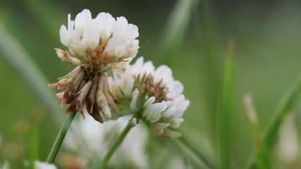 Fototapete - Wildlife macro. Clover flowers on blurred background of green field close-up. Natural background. Landscape, nature, summer.