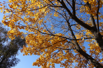 Foto op Canvas Aan het plafond Vibrant orange leaves on branches of maple against blue sky in October