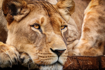 Fototapete - Detail lioness in resting