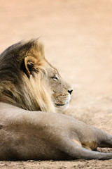 Fototapete - Big black maned male lion side view from a low angle resting in the Kalahari desert. Panthera leo