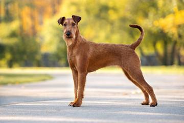 beautiful irish terrier dog standing in the park