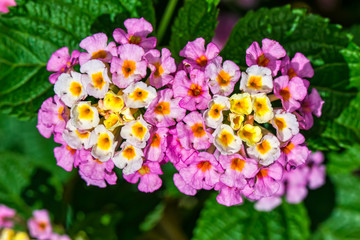 Flower Cambara closeup photo - Macro photo Lantana camara