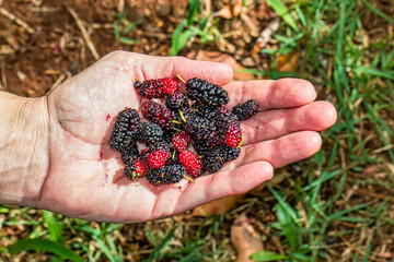 Woman's hand holding a handful of organic blackberries