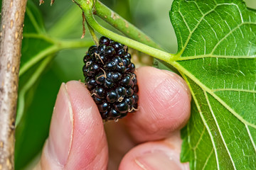 Detail of blackberry being picked by a woman's fingers