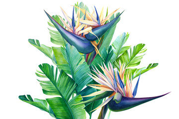 bouquet of tropical strelitzia flowers on a white background, watercolor illustration