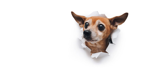 Poster Chien Bug-eyed muzzle. The head of old dog through a hole on a white torn paper background. Russian Toy Terrier. Horizontal studio image, copy space. Concept of spy, curiosity and snoop.