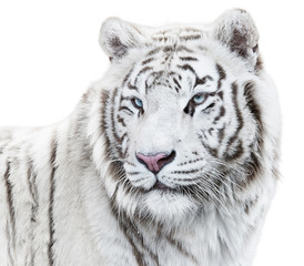 Wall Mural - Magnificent white tiger looking back