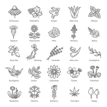 Herbs collection. Medical healthy flowers and herbs nature plants