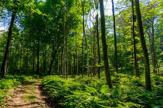 path trough ferns in forest