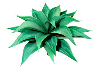 3D Rendering Agave Plant on White