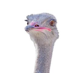 funny ostrich at farm