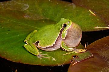Wall Murals Frog Europäischer Laubfrosch (Hyla arborea) - European tree frog